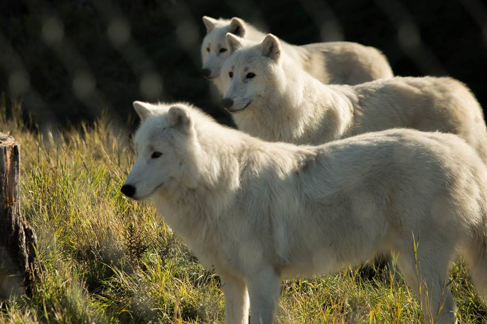 Arctic wolves, white wolf,