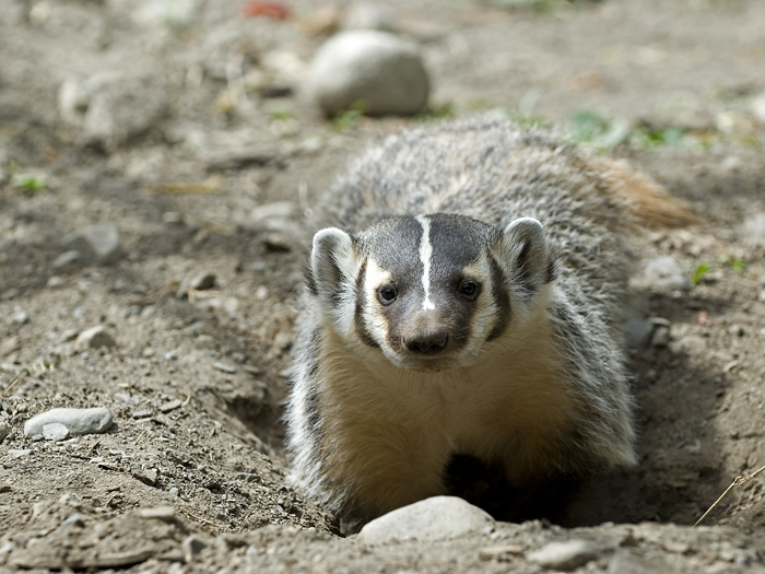 American Badger, bloom