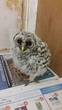Barred owl chick.jpg