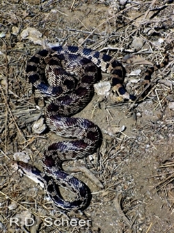 gophersnake.jpg