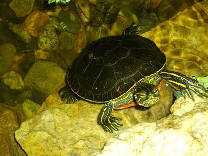 Painted turtle - Katelyn Leitch.JPG