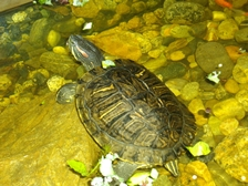 Red eared slider - Katelyn Leitch.JPG